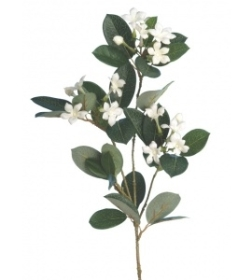 Stephanotis White